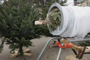 Les arbres à décorer pour le Réveillon : le sapin de Noël Nordmann
