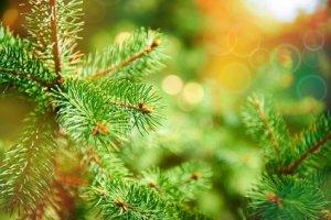 Paroles de chansons de Noël : Mon beau sapin